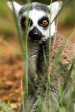 Preview iPhone wallpaper Lemur in grass, look at you