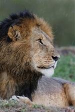 Lion look back