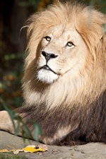 Preview iPhone wallpaper Lion rest, stone, wildlife