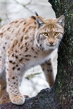 Preview iPhone wallpaper Lynx, tree, animals photography