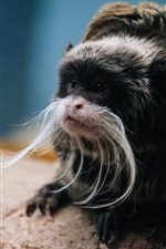 Preview iPhone wallpaper Monkey photography, Emperor Tamarin