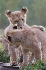 Preview iPhone wallpaper One pair lion cubs play games
