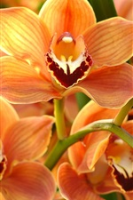 Preview iPhone wallpaper Orchid, orange phalaenopsis