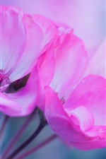 Preview iPhone wallpaper Pink flowers macro photography, petals, inflorescence
