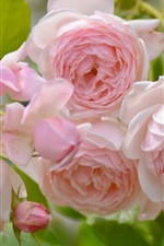 Preview iPhone wallpaper Pink rose flowers, spring