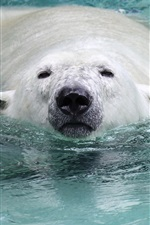 Preview iPhone wallpaper Polar bear swimming in the water, head, nose