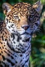 Preview iPhone wallpaper Predator, face, jaguar
