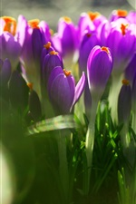 Preview iPhone wallpaper Purple crocuses, green leaves, blurry
