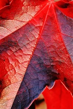 Preview iPhone wallpaper Red maple leaves macro photography, autumn theme