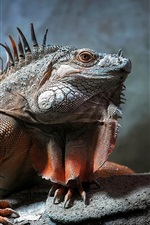 Preview iPhone wallpaper Reptile photography, iguana close-up, scales