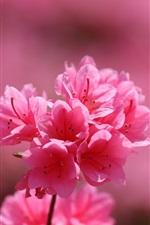 Rhododendron, inflorescence, pink petals, spring