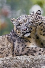 Snow leopard, mother and cub, play game