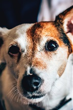 Preview iPhone wallpaper Spotted dog, face, eyes, bokeh