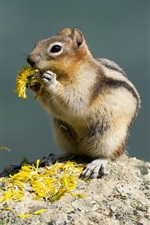 Preview iPhone wallpaper Squirrel eat flowers