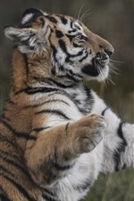 Preview iPhone wallpaper Tiger cub, predator, standing, paws