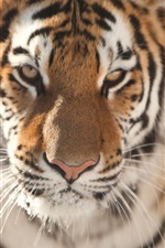 Tiger face close-up