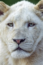 Preview iPhone wallpaper Two white lions front view