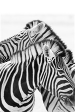 Preview iPhone wallpaper Two zebras, white and black