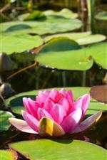 Water lily, lotus, pink flower, leaves, pond