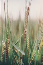Preview iPhone wallpaper Wheat field, spikelets, spring