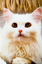 iPhone обои Белый кот, взгляд