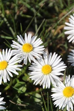 Preview iPhone wallpaper White daisies flowers, grass, summer