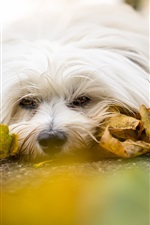 White dog, rest, road, yellow leaves