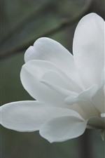 Preview iPhone wallpaper White magnolia flower close-up
