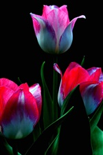 Preview iPhone wallpaper White red petals tulips, black background
