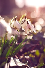 Preview iPhone wallpaper White snowdrops, flowers, glare