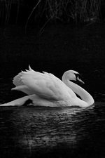 Preview iPhone wallpaper White swan, pond, black background