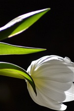 Preview iPhone wallpaper White tulip close-up, black background