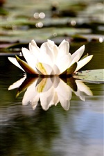 White water lily, pond
