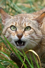 Wild cat, face, eyes, whiskers