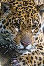 Wild cat, jaguar, rest, tree