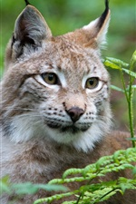 Preview iPhone wallpaper Wild cat, lynx, face, grass