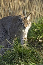 Preview iPhone wallpaper Wild cat, lynx, grass