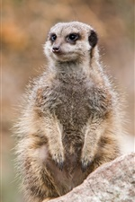 Preview iPhone wallpaper Wildlife, meerkat standing to look