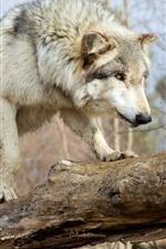 Wolf zu Fuß, Baum, Wald