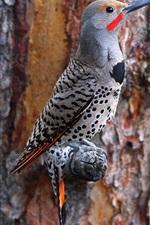 Woodpecker, tree