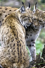 Preview iPhone wallpaper A pair of lynxes, feelings
