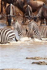 Africa wildlife, zebra, crocodile, herd, pond