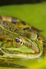 Preview iPhone wallpaper Amphibians, tree frog, green leaves