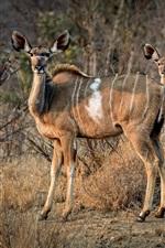 Antelope family, Africa