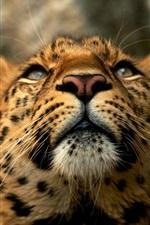 Preview iPhone wallpaper Big cat, leopard, face, predator