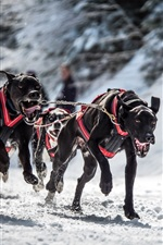 Preview iPhone wallpaper Black dogs runs, snow