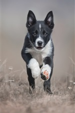 Preview iPhone wallpaper Black puppy, border collie, runs