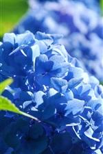 Blue hydrangea flowers, petals, grass