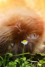 Preview iPhone wallpaper British shorthair, playful cat, flower, sunshine