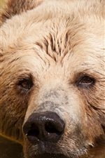 Preview iPhone wallpaper Brown bear in water, head, face